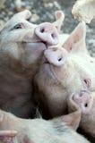 Smiling Pigs Stock Photos
