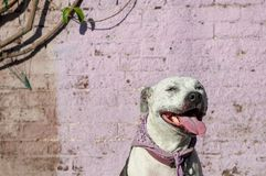 Smiling pit bull dog against pink brick wall. A white and black pit bull mix against a purple brick wall in downtown Los Angeles` Arts District Royalty Free Stock Photo