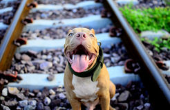 Smiling Pit Bull. I am hungry or edit it Stock Photo