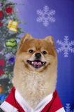 Smiling Pomeranian. A seemingly smiling Pomeranian mugging for the camera in a Santa suit on a Christmas themed background Stock Image