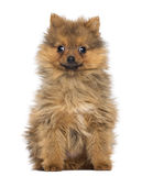Smiling Pomeranian Puppy, 2 months old, sitting Stock Photos