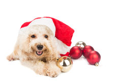Smiling poodle dog in santa costume posing with Christmas orname Stock Photos