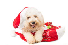 Smiling poodle dog in santa costume posing with Christmas orname Stock Images