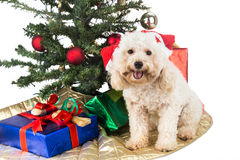 Smiling poodle puppy in Santa hat with Chrismas tree and gifts. Royalty Free Stock Image