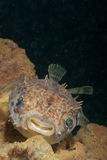 Smiling porcupinefish Stock Image