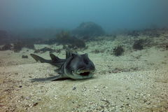 Smiling Port Jackson shark Royalty Free Stock Image