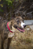 Smiling portrait of a brindle dog Royalty Free Stock Image