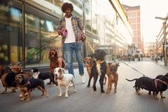 Smiling dog walker man in the street with lots of dogs. Smiling professional dog walker man in the street with lots of dogs royalty free stock photos