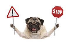Smiling pug dog holding up red stop and exclamation mark sign Stock Photography