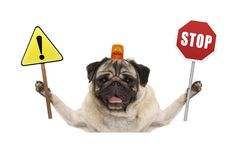 Smiling pug dog holding up red stop sign  and yellow exclamation mark sign, with orange flashing light on head Stock Image