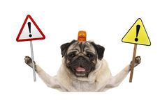 Smiling pug dog holding up stop sign and yellow  exclamation mark sign, with orange flashing light on head. Isolated on white background Royalty Free Stock Image
