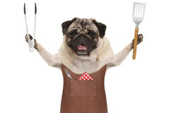 Smiling pug dog wearing leather barbecue apron, holding meat tong and spatula Royalty Free Stock Photo