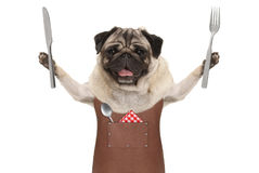 Smiling pug dog wearing leather barbecue apron, holding up cutlery for eating meal. Isolated on white background Stock Photography
