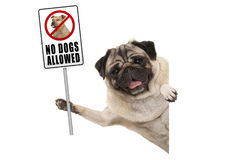 Smiling pug puppy dog holding up prohibitory no dogs allowed sign. Isolated on white background Royalty Free Stock Photo