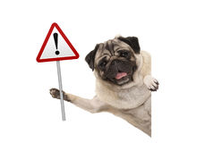 Smiling pug puppy dog holding up red warning, attention traffic sign. Isolated on white background royalty free stock photo