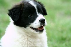 Smiling Puppy Royalty Free Stock Photo
