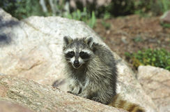 Smiling Raccoon. Raccoon sitting on a rock looking directly at you with a cute expression Stock Images