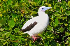 Smiling red-footed booby Stock Photo