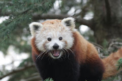 Smiling Red Panda Stock Images