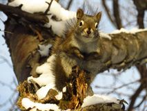 Smiling Red Squirrel on the tree Stock Image