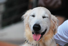 Smiling Retriever Dog Stock Photography