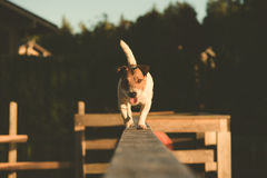 Smiling rope-walker dog walking and  balancing on a wood beam. Jack Russell Terrier pet playing on height Stock Photography