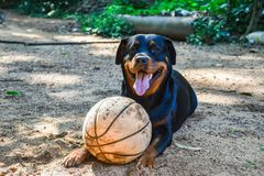 Smiling rottweiler dog with basketball