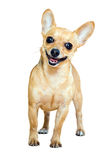 Smiling Russian Toy Terrier Royalty Free Stock Photo