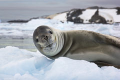 Smiling sea lion in Antarctica. Smiling sea lion lying on the piece of ice in Antarctica stock photo