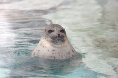 Smiling seal. Smiling cute seal in water Royalty Free Stock Photos