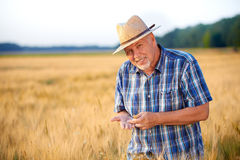 Smiling senior farmer checks wheat grain. Royalty Free Stock Photography