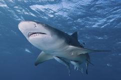 Smiling shark Stock Image