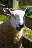 Smiling Sheep Stock Image