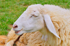 Smiling sheep Royalty Free Stock Photography