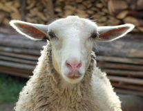Smiling sheep. Smiling white sheep with big ears Stock Images