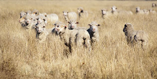 Smiling Sheep Flock Stock Photos