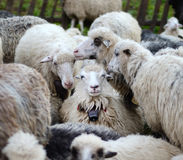 Smiling sheep in the herd sheep Stock Photo