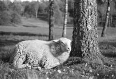 Smiling sheep relaxing in the sun - shot with analogue film. Smiling sheep relaxing in the sun. Location: Uddevalla, Sweden. Image is taken with a full-frame royalty free stock photos
