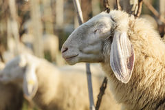 smiling sheep Stock Photography