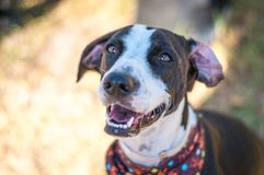 Smiling Shelter Dog. Beautiful dog smiles despite living in a shelter. Her eyes portray excitement as she is able to get out in the sun for just a bit Stock Photo