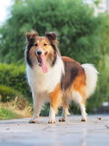 Smiling Shetland Sheepdog Royalty Free Stock Images