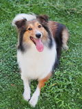 Smiling Shetland Sheepdog Royalty Free Stock Photos