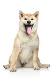 Smiling Shiba inu dog Stock Photography
