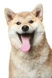 Smiling Shiba inu dog