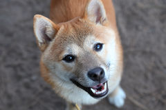 Smiling Shiba Inu. A happy Shiba Inu looking up with joyous expression at a dog park Stock Photo
