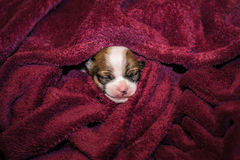 Smiling small chihuahua puppy wrapped in a blanket Stock Photography