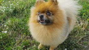 Smiling small dog Pomeranian spitz looking up. Waiting asking for food treats. Licking. Video footage