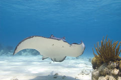 Smiling southern stingray Royalty Free Stock Photos