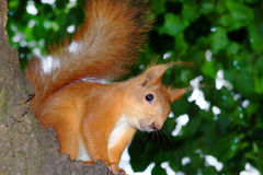 Smiling Squirrel. An orange smiling squirrel on the tree Stock Image