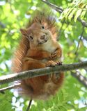 Smiling Squirrel. A squirrel smiling on a tree branch Stock Photos